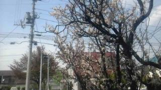 北海道では桜と梅の花が・・・